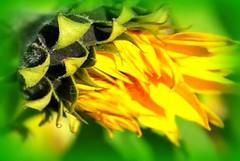 Jesien 2008 061 (Elisabeth Gaj) Tags: flowers autumn macro green nature yellow natur yellowflowers kwiaty cubism elisabethgaj 100commentgroup