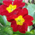 Red Yellow Flower thumbnail