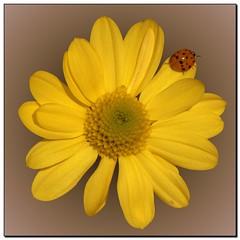 Boredom (- Burning Rubber -) Tags: flowers flower macro nature yellow closeup natur gelb ladybug blume marienkfer burningrubber cubism goldenglobe supershot masterphotos mywinners abigfave canoneos400d anawesomeshot impressedbeauty qualitypixels 100commentgroup