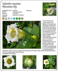 Climbers, Flowers, White,  Solandra maxima, Hawaiian lily (Farelli Bali) Tags: flowers white climbers solandramaxima hawaiianlily