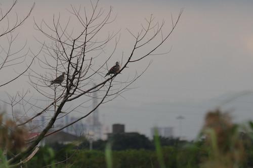DSC_5179金背鳩