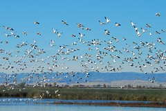 Snow geese taking flight (wolfpix) Tags: bird birds geese flock birding pssaro goose uccelli pajaro vgel birdwatching soe oiseau vogel oiseaux uccello  flocks oie snowgoose chencaerulescens   mywinners shieldofexcellence  goldstaraward