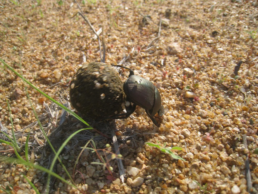 The rare flightless dung beetle at work