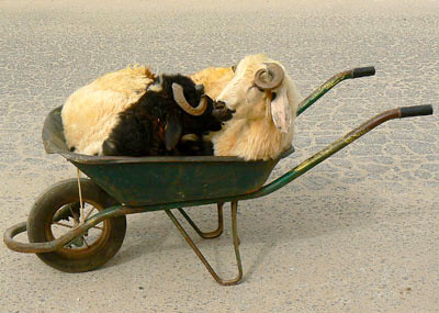 Animals in a wheelbarrow, purchased for the Eid feast, Qatar.