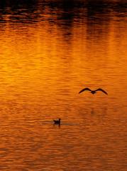 Gold And Gulls. (Female Robin) Tags: sunset scotland twilight angus dusk forfar loch gloaming