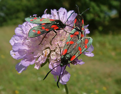 NATURE- (Burnets) (n.j.coomber) Tags: countryside moths oxfordshire fujifinepix burnet scabious britishcountryside wonderfulnature burnets sixspotburnet zygaenafilipendulae filipendulae astonrowant flyingjewels dayflyingmoths sixspotburnets crazyaboutnatture zygana