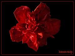 Red In Black!!! (kanavasp) Tags: flowers red roses flower macro nature rose photo perfect photos olympus ing zuiko soe salonica  naturesfinest fpc zd blueribbonwinner splendiferous naturescall wildnature perfectshot beautifulshot zuikodigital flickrsbest olympusslrtalk zd50mmf20macro photographyrocks golddragon olympusesystem weatherphotography mywinners abigfave ilovemacro 50mms platinumphoto olympuszuikodigitalclub anawesomeshot colorphotoaward impressedbeauty infinestyle diamondclassphotographer flickrdiamond top20red ysplix excellentphotographerawards theunforgettablepictures brillianteyejewel overtheexcellence colourartaward macromarvels dazzlingshots theperfectphotographer goldstaraward mailciler macroflowerlover excellentsflowers solofotos fliccrspecialpicture spiritofphotography mimamorflowers flickrbestpics amazingmacrosgroup flickrflorescloseupmacros panoramafotografico naturescreations digifotoproaword internationalflickrawards magnificentmacros kanavasp maillmixstaraward