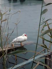 L'estany (Boro92) Tags: duck pato wetland cullera estany humedal anec lariberabaixa