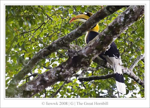 1001.1 Hornbill ... my 1st birding picture lol