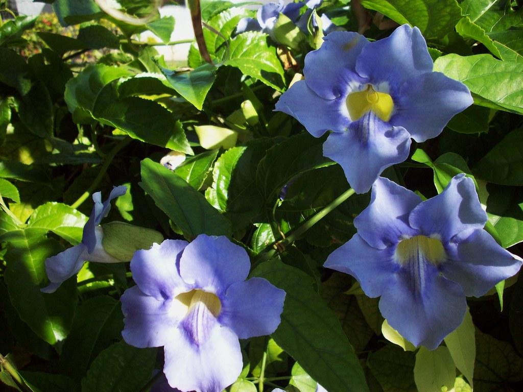 I Like Plants Blue Sky Vine Thunbergia Grandiflora