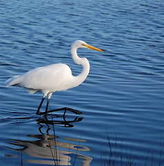Walking in beauty (MettaMomma) Tags: blue white reflection bird nature water ilovenature outdoors wildlife ripples egret blueandwhite birdwatcher stmarkswildliferefuge