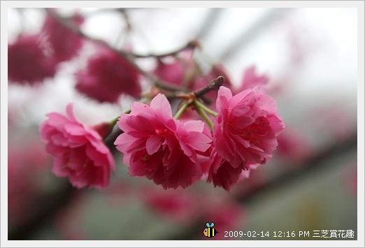 20090214三芝賞花趣 (9)