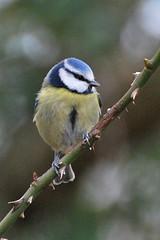 Bluetit on thorns (Missy2004) Tags: bird tit newforest bluetit nikond60 dennywood pfogold pfosilver nikkor70300mmf4556afsifedvr