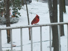Flaming in Winter (Eraser Assassin) Tags: christmas cardinal railing