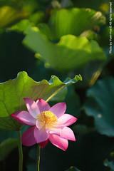 Waterlily, NTU Experimental Farm  June 12, 2011 (*Yueh-Hua 2016) Tags: morning light plant flower sunshine canon landscape eos dawn is waterlily bokeh taiwan bee ii 5d ntu   experimentalfarm         taipeicounty       canoneos5d nationaltaiwanuniversity   verticalphotograph   l       canonef70200mmf28lisiiusm is 2011june