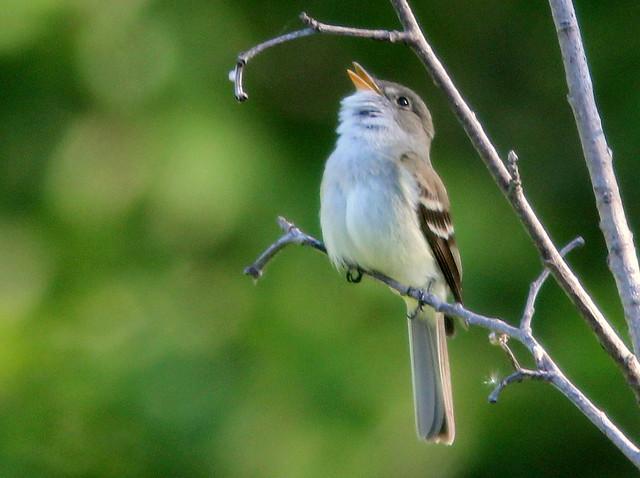 Alder Flycatcher 2-20110618
