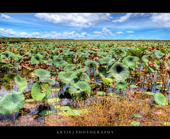 Giant Lotus Leaves in Fogg Dam, Darwin, North Territory, Australia :: HDR (:: Artie | Photography :: Offline for 3 Months) Tags: nature leaves photoshop canon lotus nt wideangle darwin handheld 1020mm farnorth hdr northernterritory cs3 3xp sigmalens photomatix tonemapping tonemap foggdam 400d rebelxti