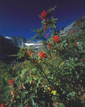 Mountain Ash, symbolic of early fall in GNP