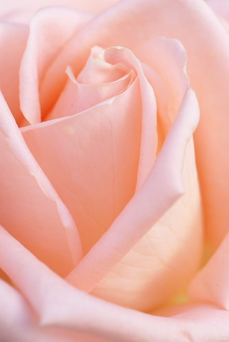 Rose - orange