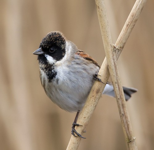 Reed bunting by DaveBartlett.