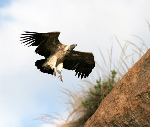 long-billed vulture landing