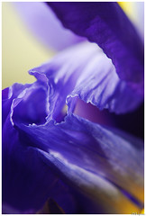 iris (Magda'70) Tags: iris flower macro closeup petals nikon purple inside bud d200 2008 deeppurple 105mm darkpurple brightpurple blueribbonwinner supershot fiolet diamondclassphotographer flickrdiamond zymon goldstaraward heratofiris