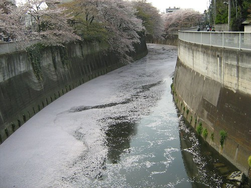 Cherry blossoms covering the Kanda river
