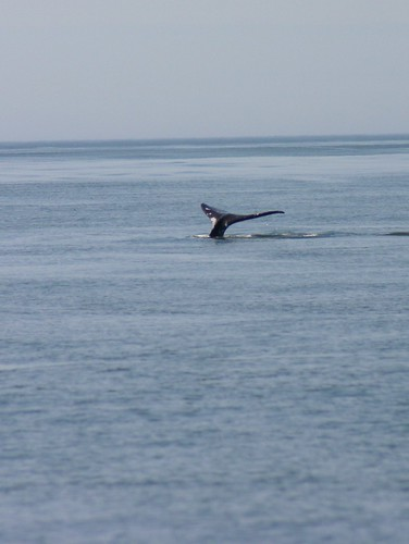 grey whale tail 2