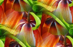 Tango (oar_square) Tags: orange plant flower green nature botanical purple blossom oneofakind award bloom flowering playful frankfurtammain cate fritillaria colorart copenhaver abigfave cleverandcreativecaptures oarsquare flickrofhope spingingermany