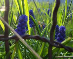 Grape hyacinths through a fence