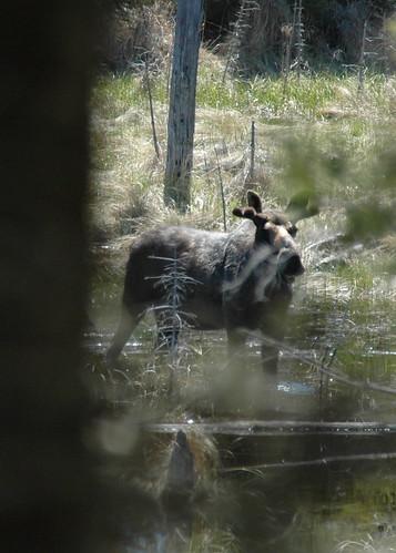 Attentive moose