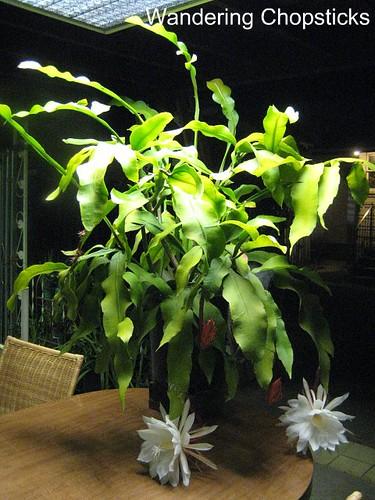 Dutchman's Pipe Cactus 7