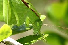 IMG_0085 (Feather fetish) Tags: katydid greengrasshopper