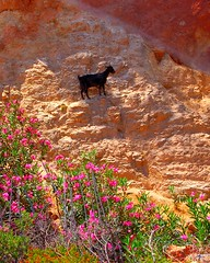 Black goat on a mountainside on the Greek island of Crete (Peace Correspondent) Tags: cliff mountain black nature rock stone d50 rocks europe stones kreta eu goat greece crete fv10 mountainside kriti blackgoat greekisland views600 5photosaday