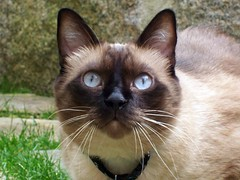 Birdies, I'm here (Gabbcan) Tags: cat blueeyes siamese gato catinthegarden catnipaddicts