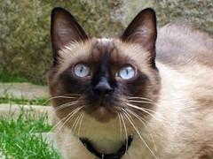 Birdies, I'm here (Gabbcan) Tags: cat blueeyes siamese gato catinthegarden catnipaddicts