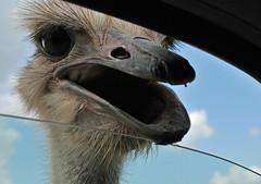 An Ostrich at My Window (Jeff Clow) Tags: door oklahoma window closeup driving ostrich explore dfw wildlifepark nikkor18200mmvr arbucklewilderness abigfave platinumphoto impressedbeauty nikond300 jeffrclow