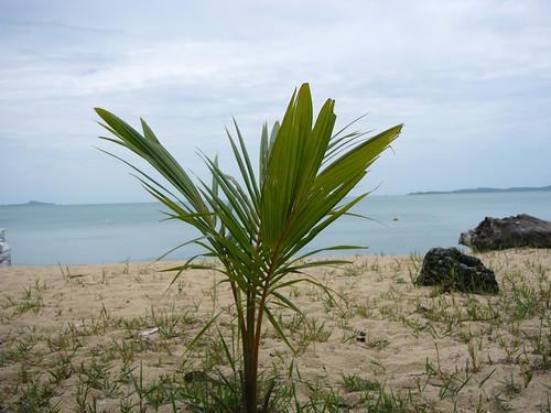 koh samui- young coconuts tree