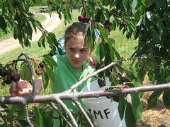 Emma picking cherries