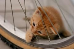i'm sorry...more kitten photos (illinichick357) Tags: pfogold