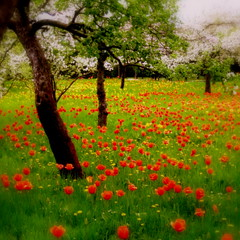 The tulip orchard (blondepowers) Tags: flowers trees light red green rot art beautiful grass yellow garden spring bravo shine tulips time blossom lawn may wiese blumen orchard mai gelb fantasy memory tulip bloom impres