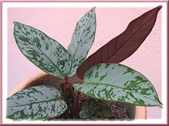 3 young basal shoots of an Aglaonema hybrid, that can be removed and replanted separately