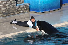 Just hanging out. (Randy Shelton) Tags: ocean california sea love nature water hug friend friendship sandiego h2o killer orca seaworld shamu killerwhale themepark wale bushgardens