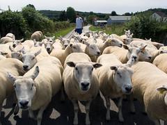 CKFR008081261NUC (Chris Kutschera) Tags: summer france sheep flock mouton creuse ete troupeau