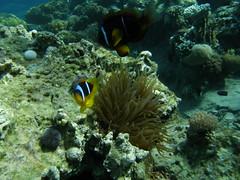 Peces payaso del Mar Rojo (Amphiprion bicinctus) defendiendo su anémona (copepodo) Tags: pez fauna redsea diving jordan anemone payaso anemonefish aqaba buceo jordania submarinismo anemona marrojo