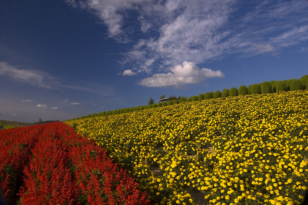 Flower Field, Biei, Hokkaido