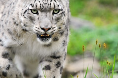 Even closer (Tambako the Jaguar) Tags: wild portrait plants cute closeup female cat zoo schweiz switzerland big nikon feline close zurich mother kitty fluffy bigcat zrich wildcat snowleopard felid d300 djamila panthera schneeleopard snowkitty uncia impressedbeauty aplusphoto loparddesneiges panthredesneiges ysplix flickrlovers dshamilja vosplusbellesphotos flickrbigcats