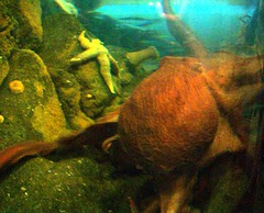the scrotum-faced octopus (Lillian Moriarty) Tags: octopus scrotum seattleaquarium scrotumface
