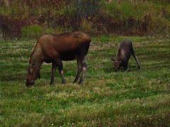 alaska sept oct08 (11)c (jaimie_dee) Tags: alaska moose northpole eielson