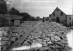 Drying fish, Burgeo, NL, 1908 (Muse McCord Museum) Tags: fish canada newfoundland store women split flakes cod southcoast catwalk nfld drying salted outport burgeo mccordmuseum musemccord preconfederation
